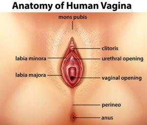 膣と大陰唇
