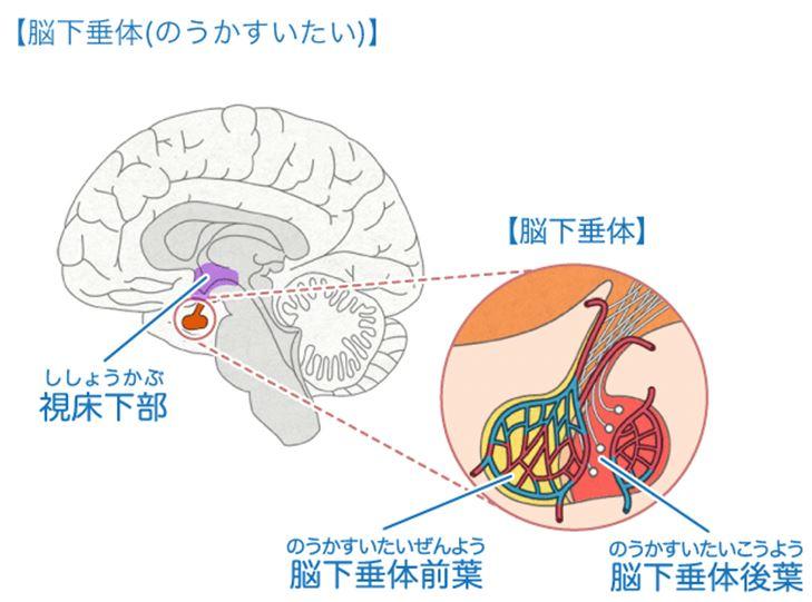 ホルモンの1つ「性腺刺激ホルモン」が、視床下部
