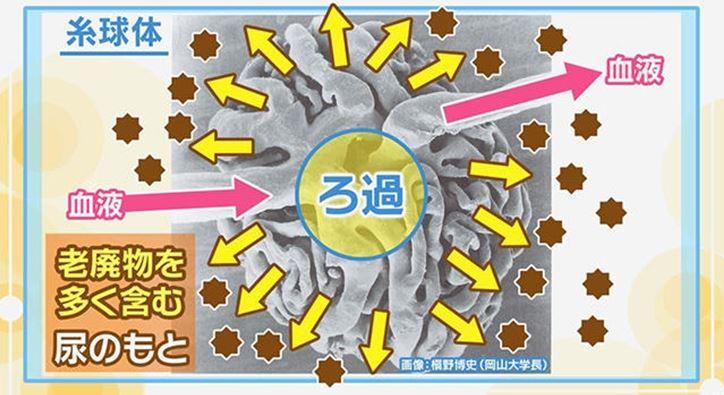睾丸マッサージは、腎臓機能の不調の緩和